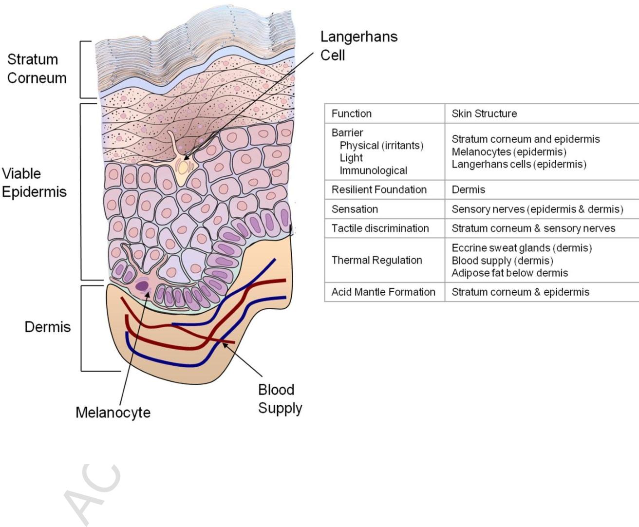 Newborn infant skin: physiology, development, and care. - Semantic ...