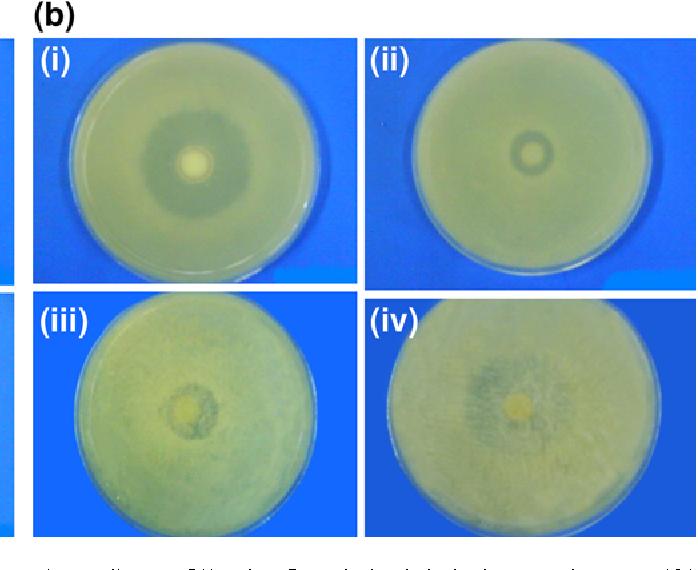 Fig. 9 a Antimicrobial activity of i Ciprofloxacin (control), ii 5% ciprofloxacin-loaded hydroxyapatite, iii 10% ciprofloxacin-loaded hydroxyapatite, iv 20% ciprofloxacin-loaded hydroxyapatite against Pseudomonas aeruginosa. b Antimicrobial activity of i Ciprofloxacin (control), ii 5% ciprofloxacin-loaded hydroxyapatite, iii 10% ciprofloxacin-loaded hydroxyapatite, iv 20% ciprofloxacin-loaded hydroxyapatite against Staphylococcus aureus