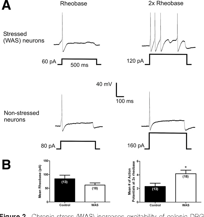 Figure 2. Chronic stress (WAS) increases excitability of colonic DRG eurons. (A) Representative trace of action potentials evoked by a 500- illisecond depolarizing pulse at rheobase (left panel) and twice the