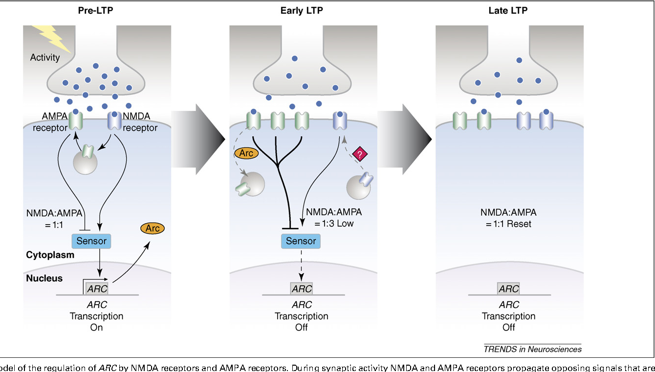 figure 3 from nmda and ampa receptors old channels new tricks