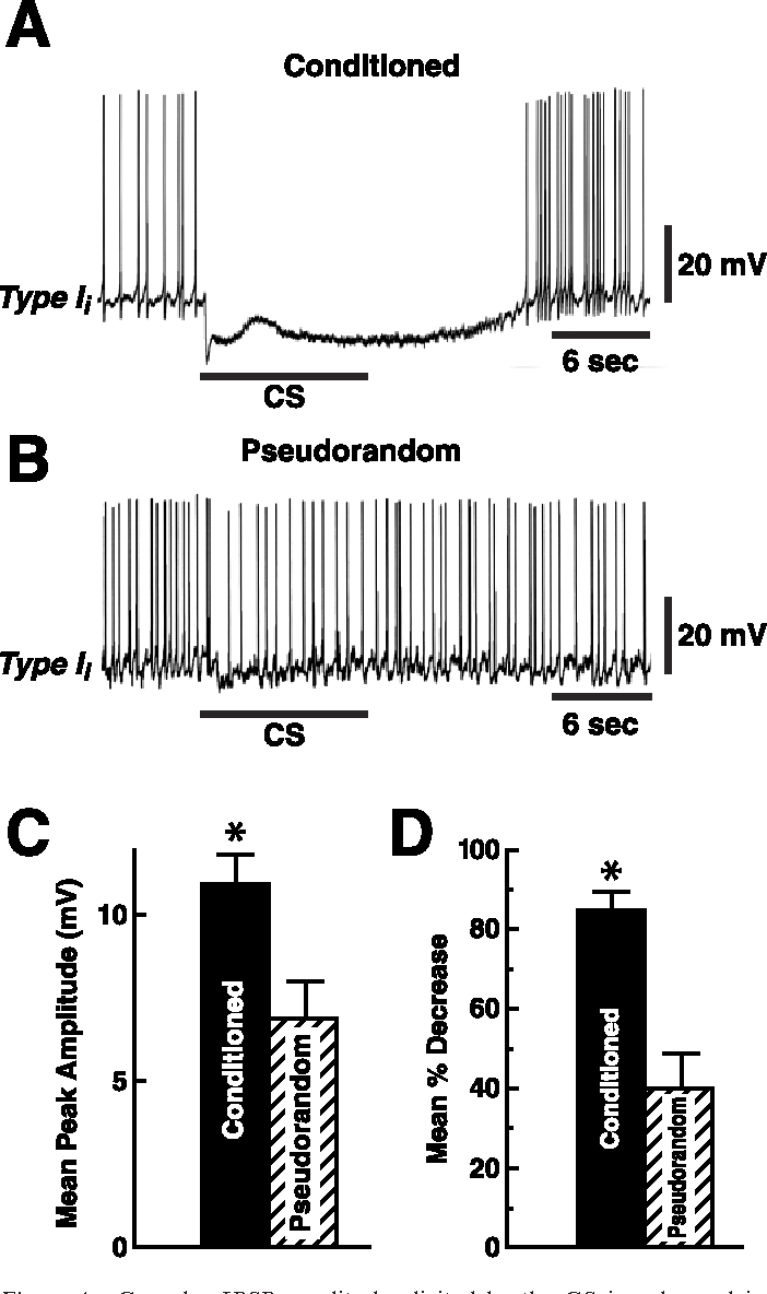 Figure 4. Complex IPSP amplitude elicited by the CS is enhanced in conditioned animals. CS-elicited complex IPSP recorded from a type Ii interneuron from a conditioned animal (A) and an example from a pseudorandom control (B). The bar beneath the recordings indicates the presentation of the 10 sec CS. The CS evoked a larger amplitude complex IPSP and greater inhibition of spike activity in the conditioned group (A) relative to controls ( B). C, Group data (means SEM) for the peak amplitude of the complex IPSPs recorded from type Ii interneurons from the conditioned group and pseudorandom controls. D, Group data depicting the mean percentage decrease in spike activity recorded during the presentation of the CS relative to the pre-CS 10 sec period for the conditioned group and pseudorandom controls. *p 0.01 for C and *p 0.001 for D.