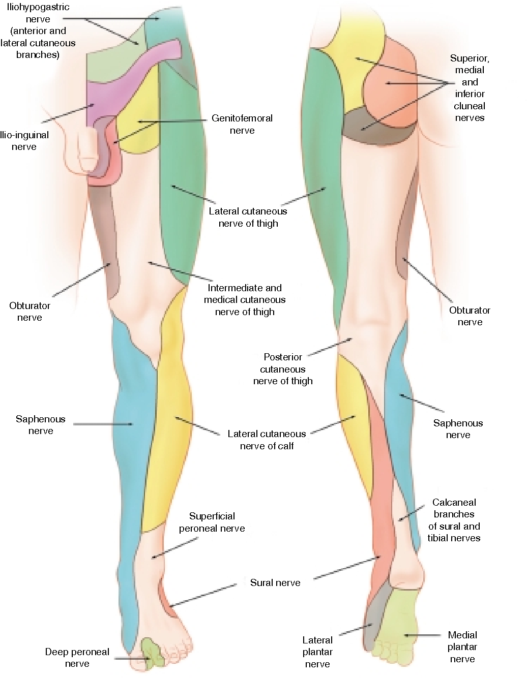 Figure 1 From Nerve Entrapments Of The Lower Leg  Ankle