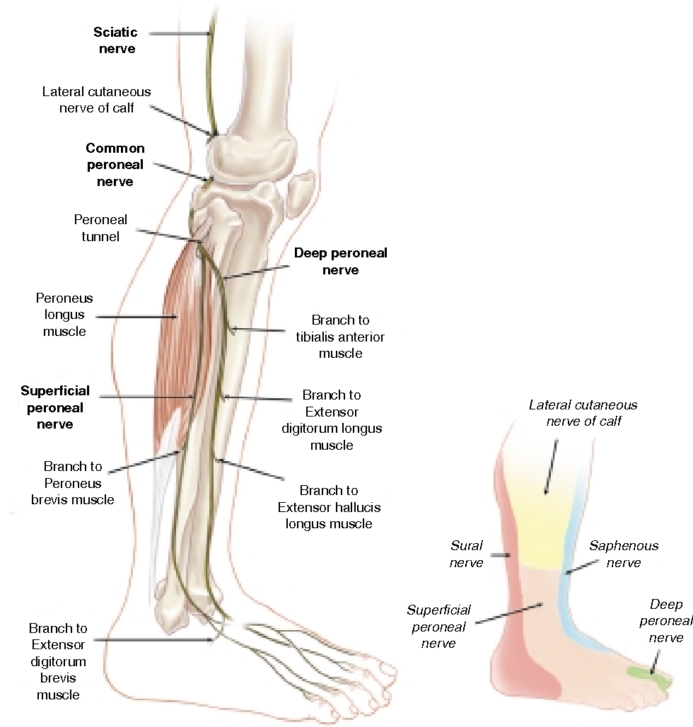 Nerve entrapments of the lower leg, ankle and foot in sport ...