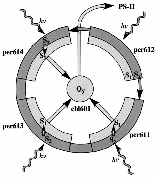 Figure 6 From Excitation Transfer In The Peridinin Chlorophyll