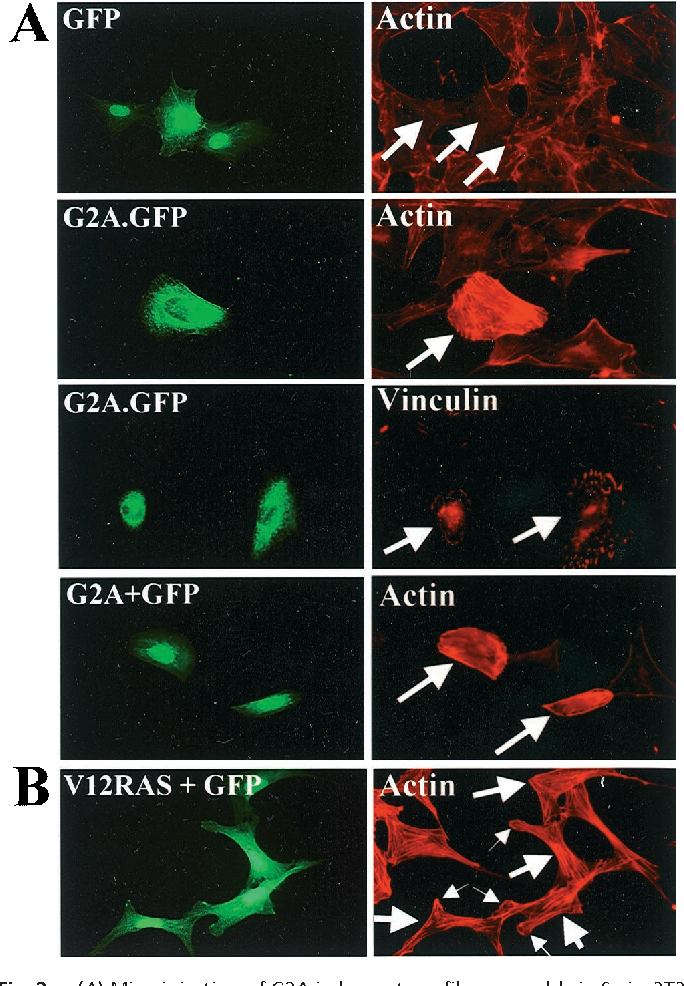 Figure 2 from Direct genetic demonstration of G alpha 13