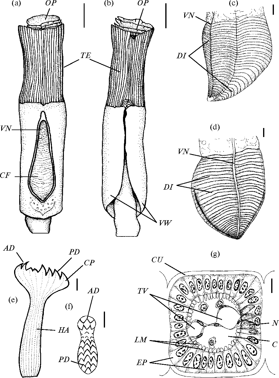 The morphology and anatomy of the vestimentiferan worm Oasisia ...