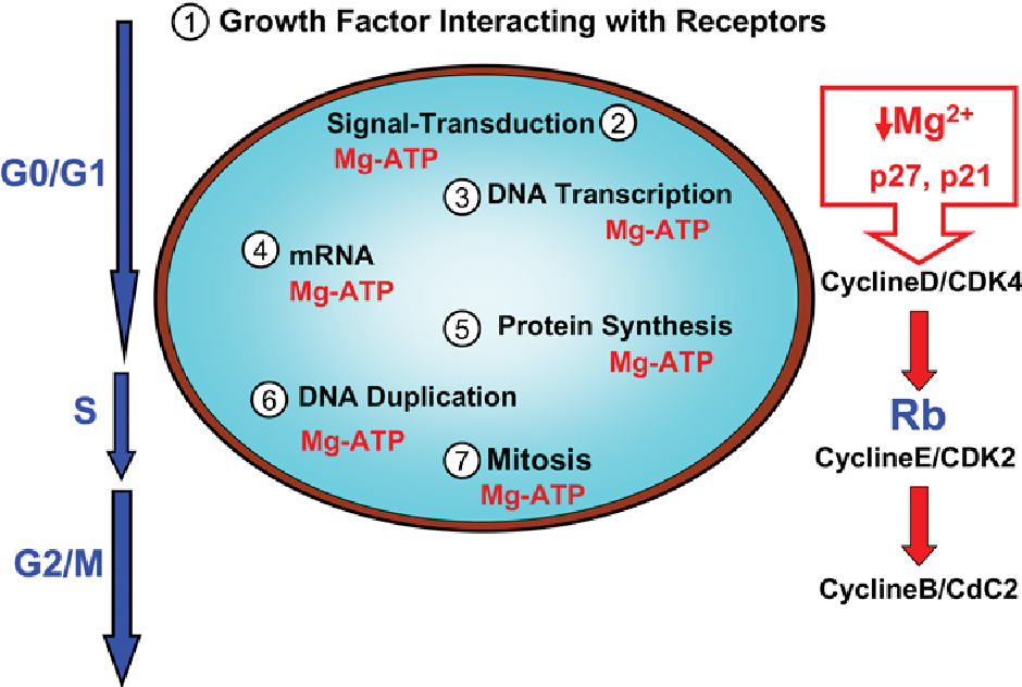 Magnesium Protein Synthesis Diagram Wiring Diagram For Light Switch