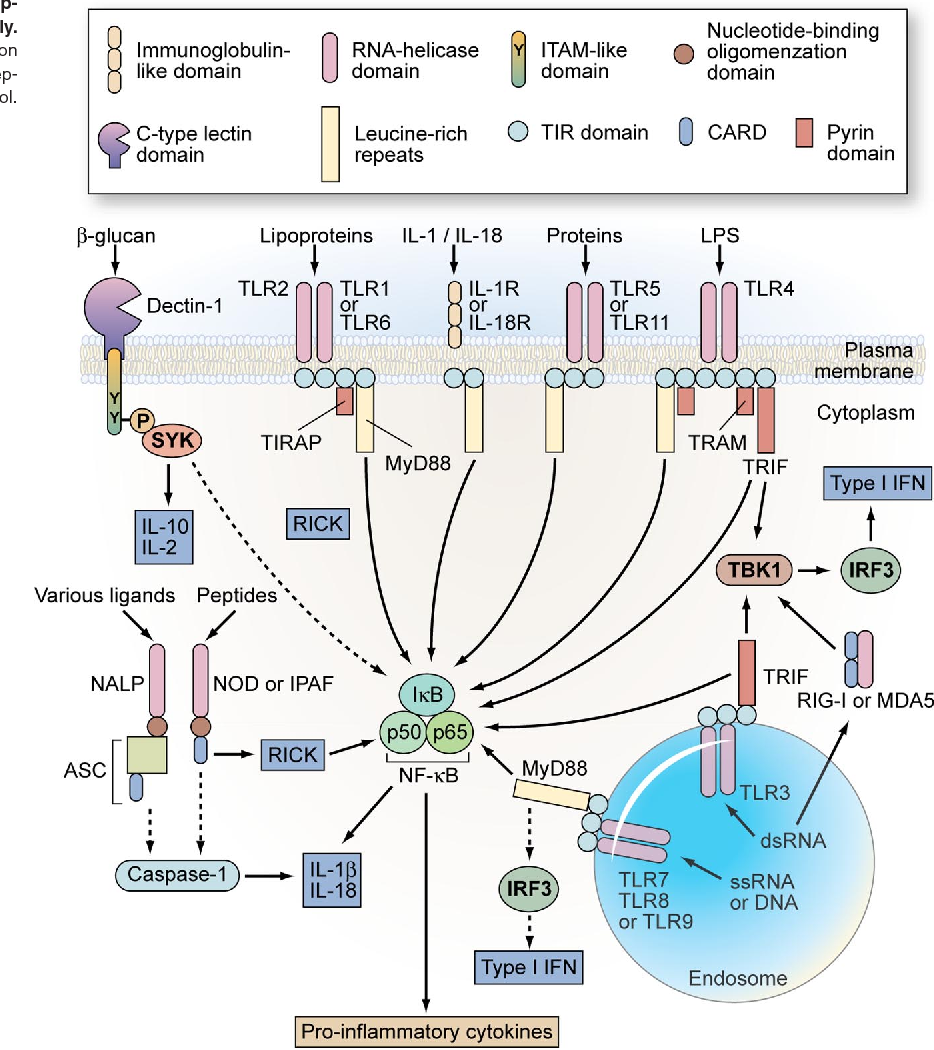 overview of the pattern-recognition receptor system of phagocytes,  including the