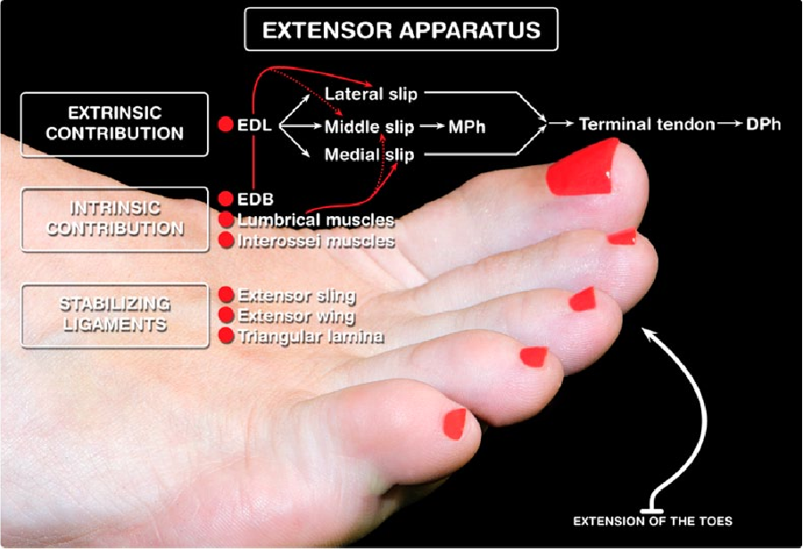 Extensor apparatus of the lesser toes: anatomy with clinical ...