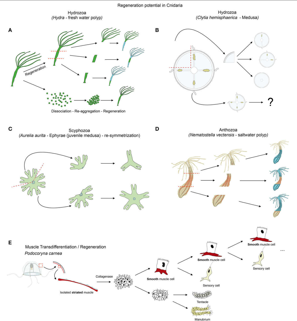 Diversity of Cnidarian Muscles: Function, Anatomy, Development and ...