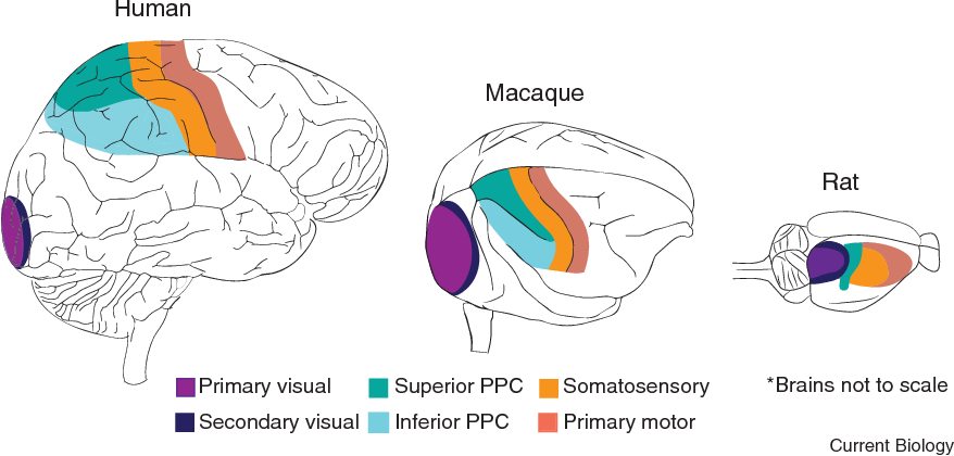 Figure 1 from Posterior parietal cortex - Semantic Scholar