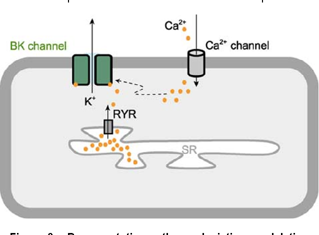 The BK channel: a vital link between cellular calcium and electrical