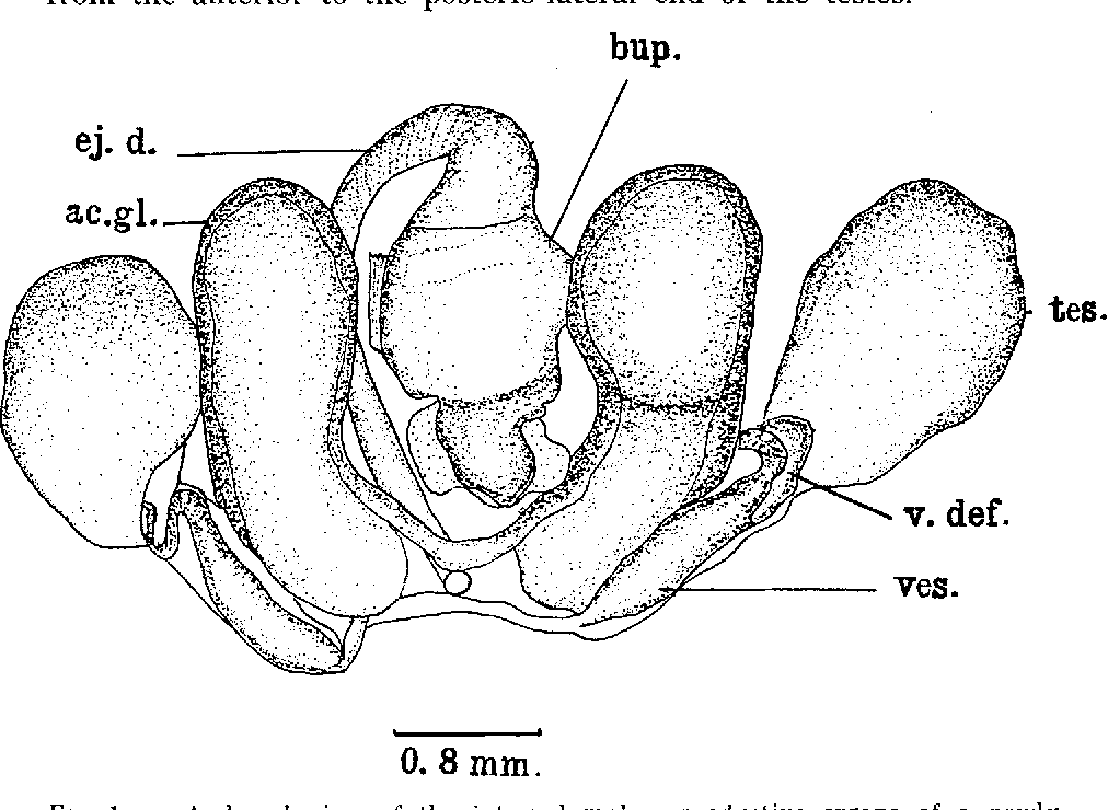 Figure 1 From Anatomy And Histology Of The Male Reproductive System