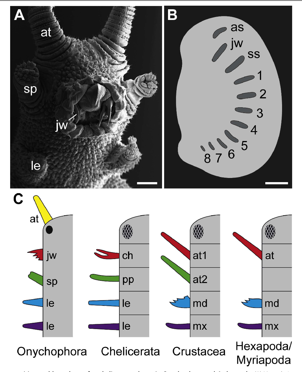 figure 1 head composition and homology of cephalic appendages in  onychophora and arthropoda  (a