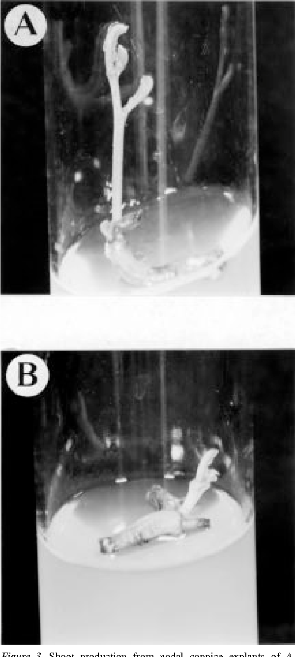 Figure 3. Shoot production from nodal coppice explants of A. mearnsii, taken from tree stumps of various ages. (A) 2-year-old tree stumps; (B) 10-year-old tree stumps.