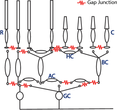 Figure 1 for A simple blind-denoising filter inspired by electrically coupled photoreceptors in the retina