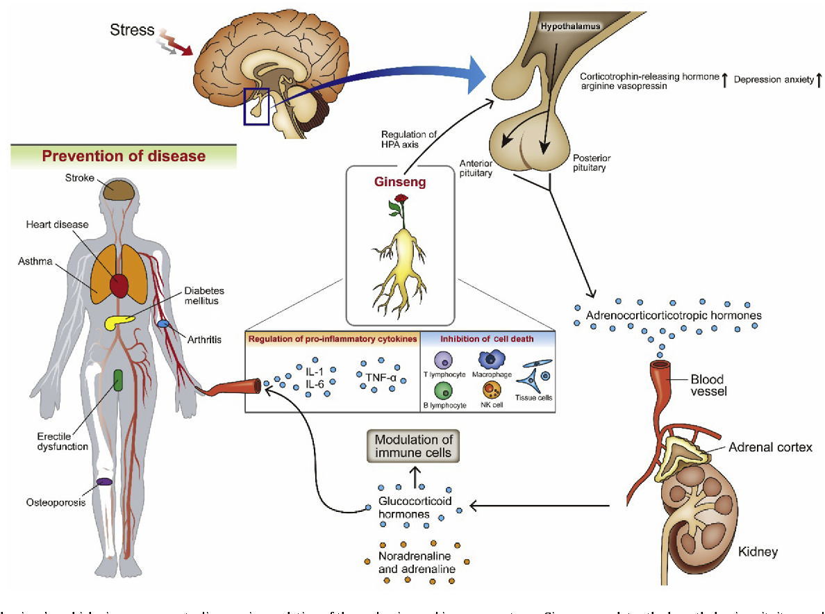 Effects of ginseng on stress-related depression, anxiety, and the ...