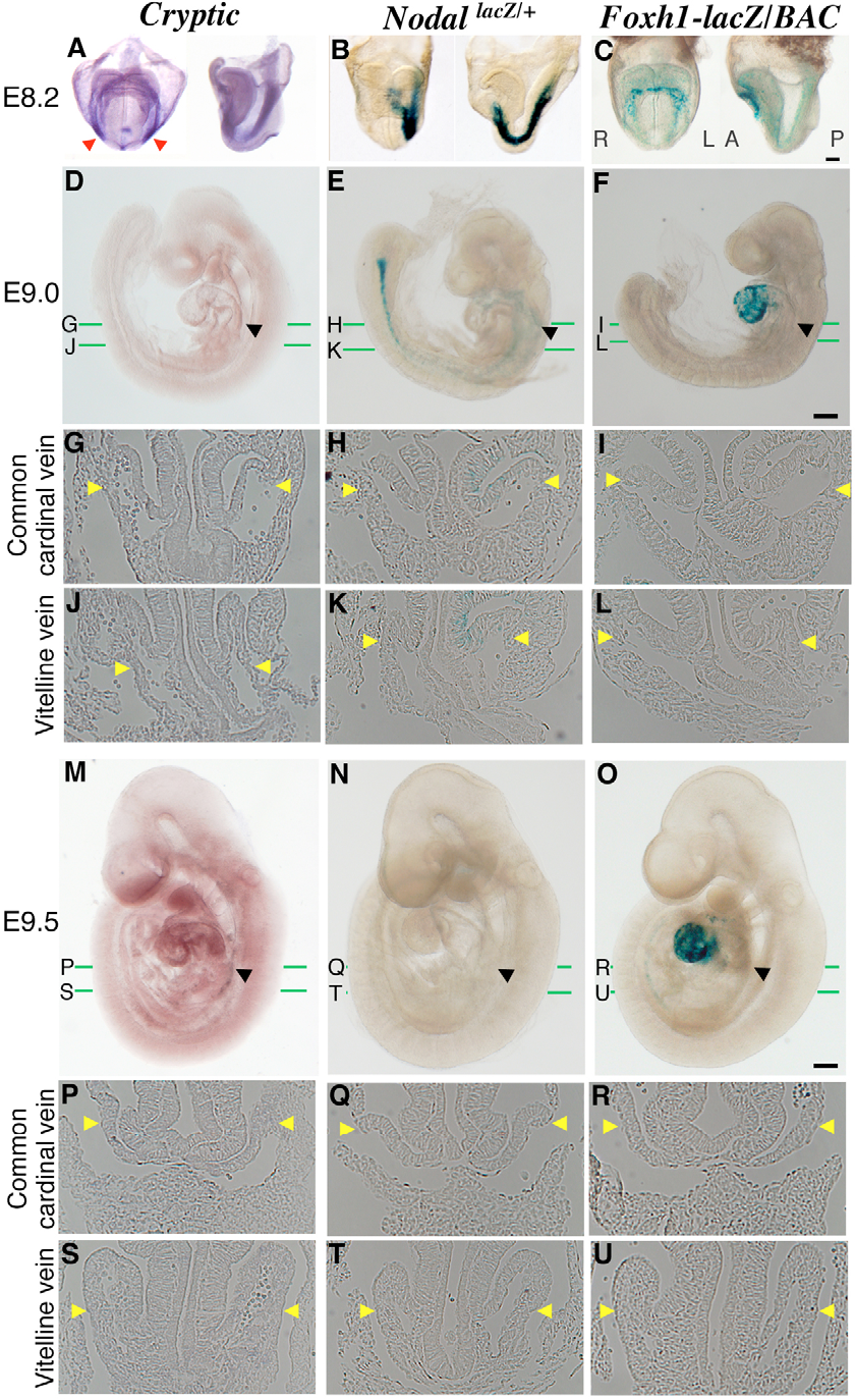 Fig. 7. Expression patterns of genes related to Nodal signaling. (A,D,G,J,M,P,S) Expression of cryptic was examined in wild-type mouse embryos by whole-mount in-situ hybridization. Expression was bilateral in LPM at E8.2 (red arrowheads in A) but was not detected at E9.0 (D,G,J) or E9.5 (M,P,S). (B,E,H,K,N,Q,T) Nodal expression was examined by X-gal staining of NodallacZ/+ embryos. Staining was apparent in left LPM at E8.2 (B), was detected at a low level in the heart region containing the common cardinal vein and vitelline vein at E9.0 (E,H,K) and was not observed at E9.5 (N,Q,T). (C,F,I,L,O,R,U) Foxh1 expression was examined by X-gal staining of embryos expressing a Foxh1-lacZ transgene. Staining was apparent in LPM and heart primordial cells at E8.2 (C) and was evident in the heart, but not in the common cardinal vein and vitelline vein, at E9.0 (F,I,L) and E9.5 (O,R,U). Transverse sections were prepared after whole-mount in-situ hybridization (G,J,P,S) or Xgal staining (H,I,K,L,Q,R,T,U). Black and yellow arrowheads in D-U indicate the region that corresponds to the common cardinal vein and vitelline vein and in which asymmetric Pitx2 expression persists in Pitx2 ASE/ ASE embryos. Scale bars: 200 m.