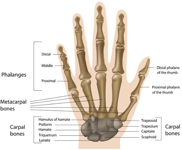 Figure 1 for Pediatric Bone Age Assessment Using Deep Convolutional Neural Networks