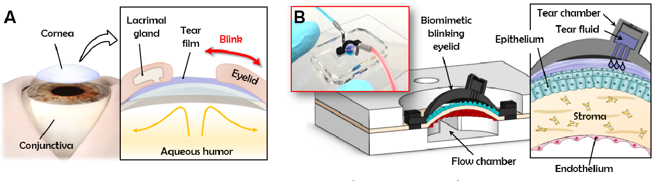Figure 1. (A) The structure and microenvironment of the ocular surface in the human eye. (B) A microengineered organomimetic model that recapitulates the multi-layered 3D tissue structure, spontaneous blinking, and tear film dynamics of the human eye.