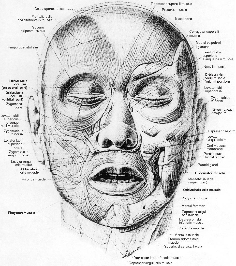 Ungewöhnlich Zygomaticus Haupt Ideen - Anatomie Ideen - finotti.info