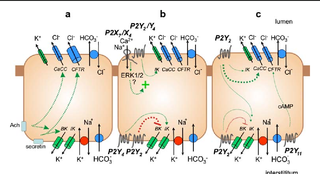 Purinergic Receptors In The Endocrine And Exocrine Pancreas