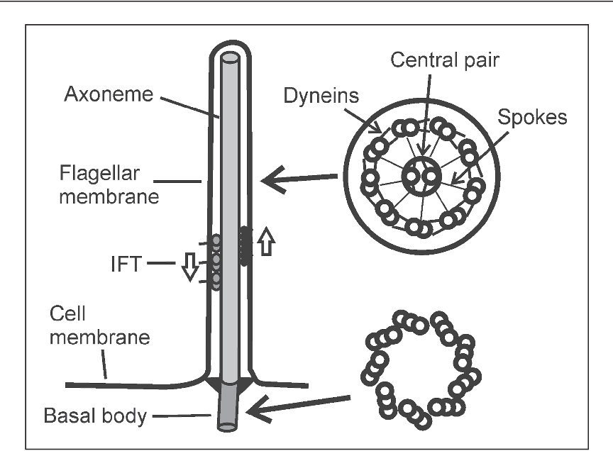 diagram of structures common to all motile cilia and flagella  longitudinal  view