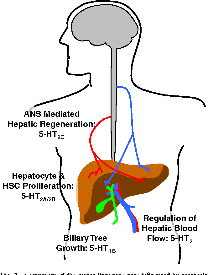 Figure 2 From The Function Of Serotonin Within The Liver Semantic