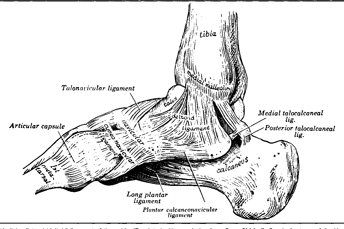 Figure 4 From Anatomy Of The Ankle And Foot Semantic Scholar