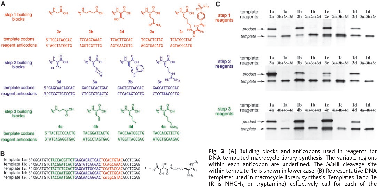 DNA-templated organic synthesis and selection of a library of ...