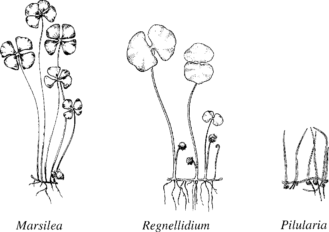 Phylogeny of Marsileaceous Ferns and Relationships of the Fossil ...