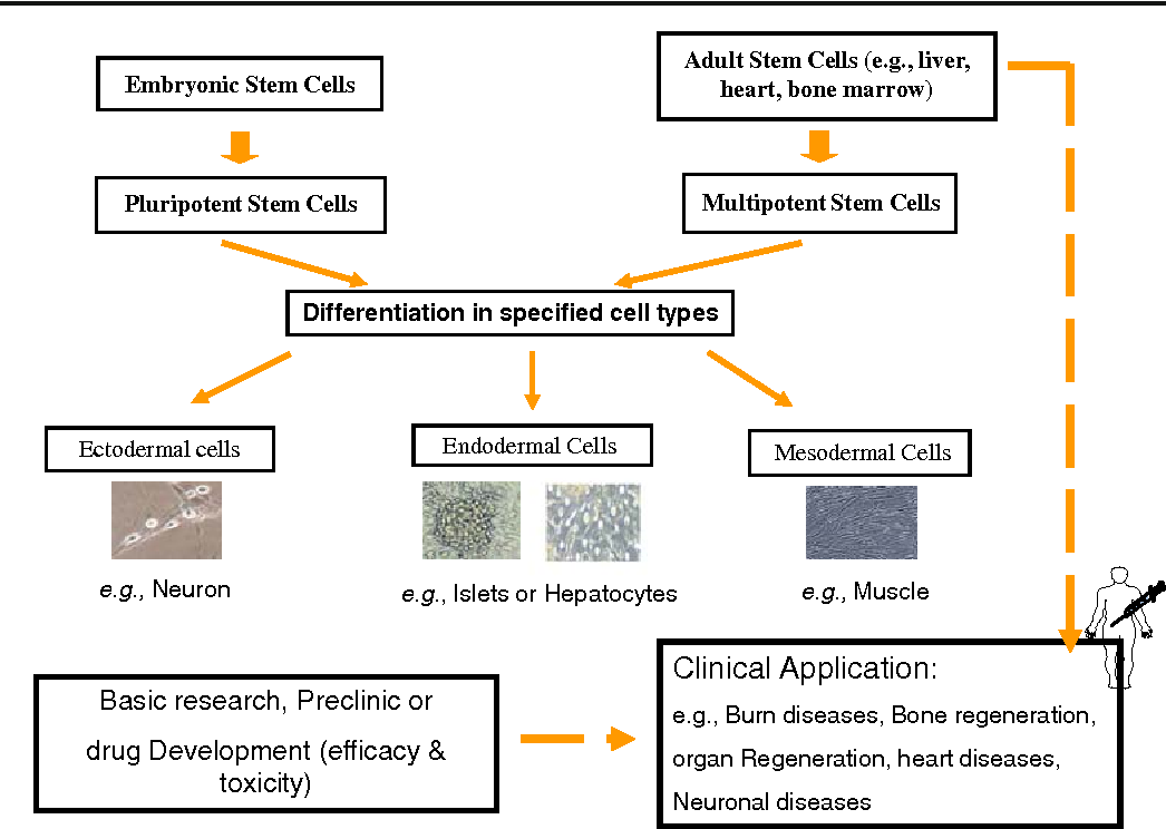 The possible use of stem cells in regenerative medicine: dream or