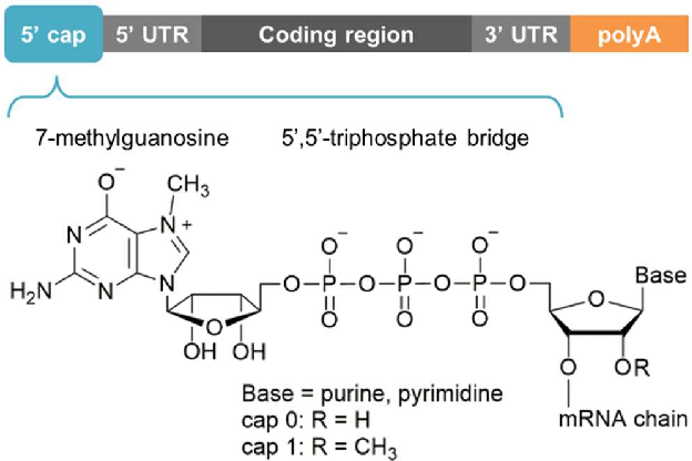 2763e0f6ad5 Figure 1 from Amino-Functionalized 5  Cap Analogs as Tools for Site ...