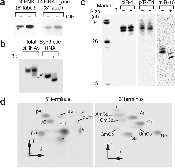 Figure 1 piRNAs have phosphate at their 5¢ termini and are 2¢-O-methylated at their 3¢ termini. (a) 5¢ and 3¢ termini of purified total mouse piRNAs were analyzed enzymatically (see text). (b) 5¢ end–labeled total mouse piRNAs, or a synthetic 27-nt RNA, after NaIO4 reaction and b-elimination. Hash (#) indicates RNAs unmodified at their 3¢ termini. (c) Northern blots of total mouse testis RNA after b-elimination. (d) 2D-TLC of purified, total mouse