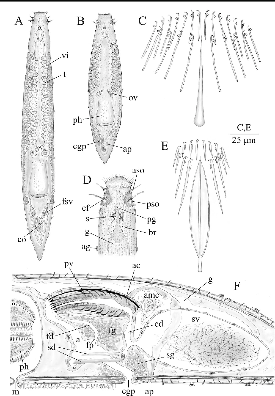 New insights on the genus otoplana du plessis 1889 figure 4 pooptronica Images