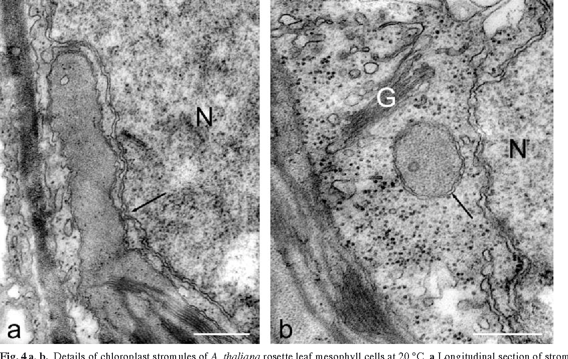 Fig. 4 a, b. Details of chloroplast stromules of A. thaliana rosette leaf mesophyll cells at 20 °C. a Longitudinal section of stromule emerging from the chloroplast in close vicinity to the nucleus. Membranes of the nucleus and the stromule are in very close contact at some points (arrow). b Transverse section of stromule with double-layered membrane (arrow) in close vicinity to the nucleus (N) and a Golgi stack (G). Bars: 0.5 m
