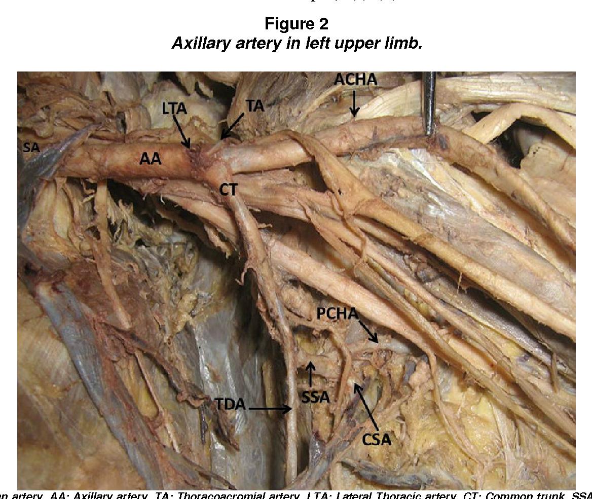 A Cadaveric Study of the Axillary Artery - Semantic Scholar