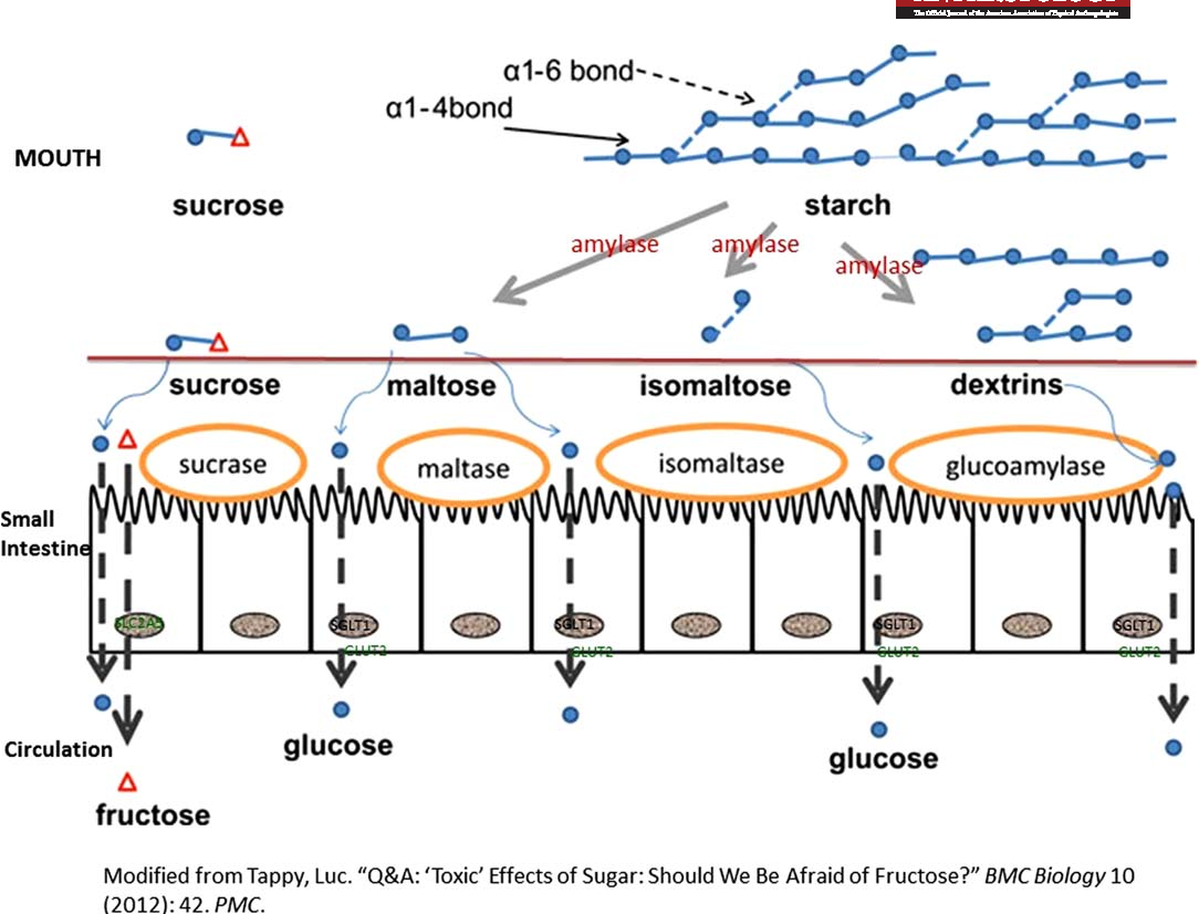 article on digestion of starch by amylase and effect of ph on it 2015-3-23 lab exercise: digestion of starch by salivary amylase the digestion of a carbohydrate such as starch begins in the mouth, where is it mixed with saliva containing the enzyme salivary amylase.