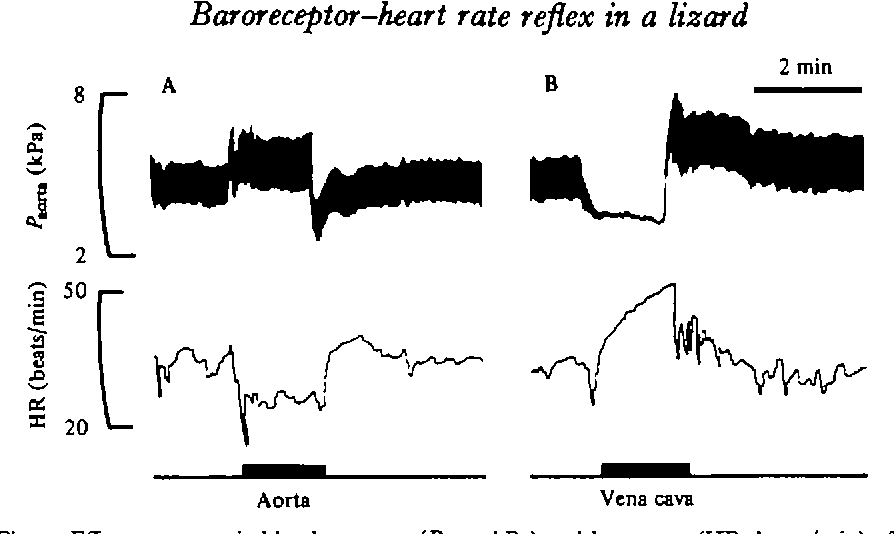 Fig. 2. Effect upon aortic blood pressure (P,^ , , Wa) and heart rate (HR, beats/min) of inflating a cuff around the aorta (in A) or the posterior vena cava (in B) for the period marked by the bar. Note that bradycardia developed more quickly than tachycardia, and after deflation of the cuff heart rate returned to the control level more quickly after bradycardia than after tachycardia.