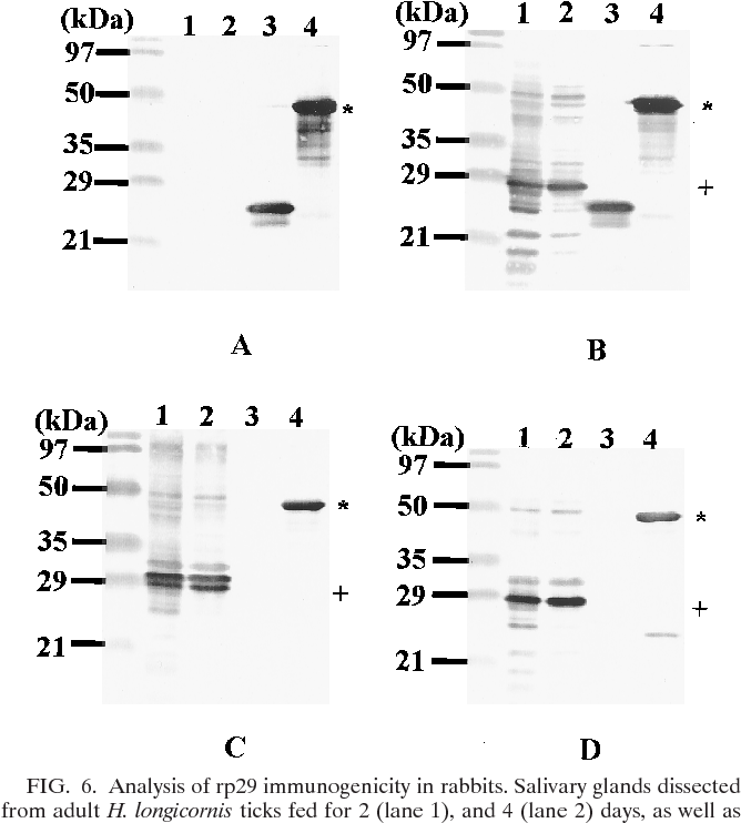 FIG. 6. Analysis of rp29 immunogenicity in rabbits. Salivary glands dissected from adult H. longicornis ticks fed for 2 (lane 1), and 4 (lane 2) days, as well as the control proteins, Trx (lane 3) and rp29 (lane 4), were electrophoresed on a 12.5% polyacrylamide gel. Following electrophoresis, the separated proteins were electroblotted on to PVDF membranes as described in Materials and Methods. The membranes were incubated with serum collected from Trx-vaccinated (A) and rp29-vaccinated (B) rabbits and rabbits repeatedly fed on by H. longicornis adult (C) and larval (D) ticks. The positive signal was detected as described in Materials and Methods. 1, native p29; *, rp29.