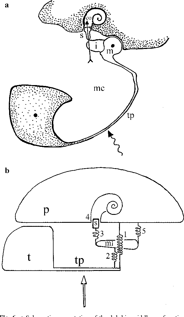 Anatomy and physics of the exceptional sensitivity of dolphin ...