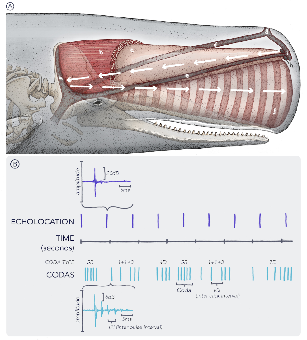 Figure 2 for Cetacean Translation Initiative: a roadmap to deciphering the communication of sperm whales