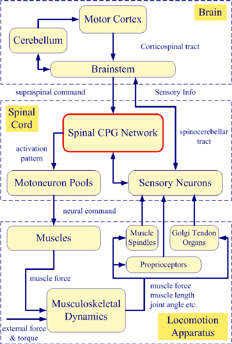 PDF] First Steps to Future Applications of Spinal Neural