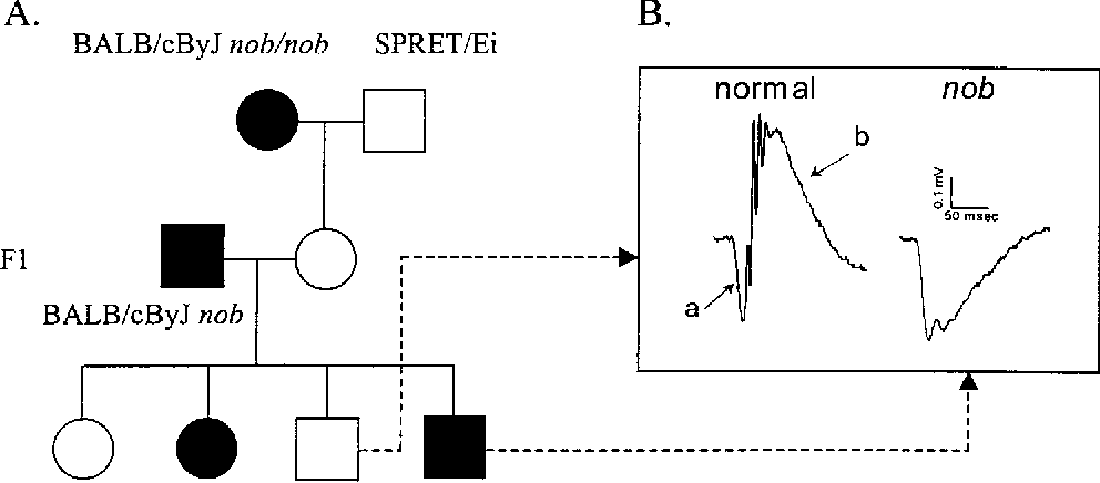 Figure 1 From Localization Of The Mouse Nob No B Wave Gene To The
