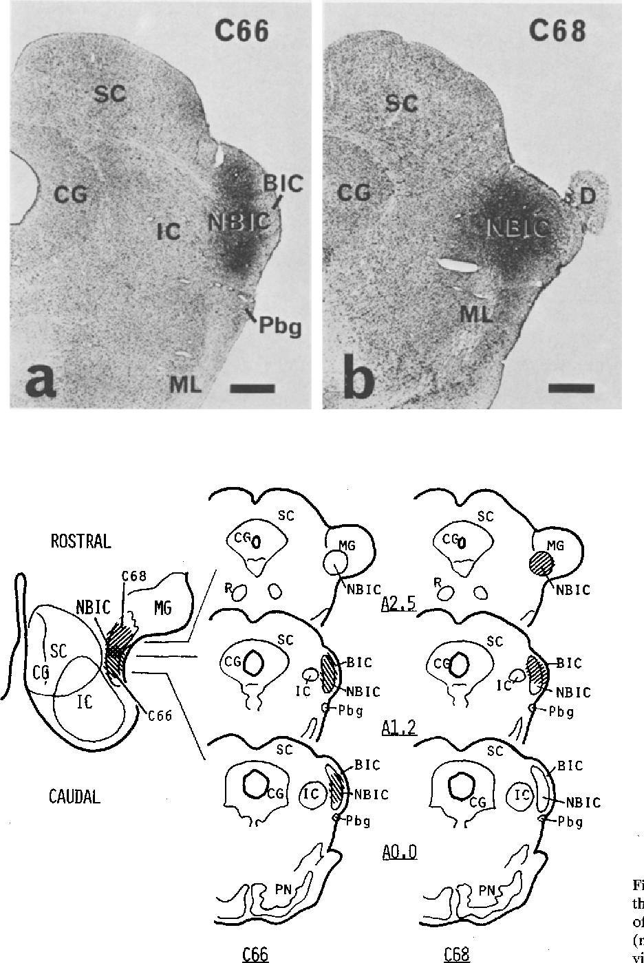 nucleus of the brachium of the inferior colliculus - Semantic Scholar