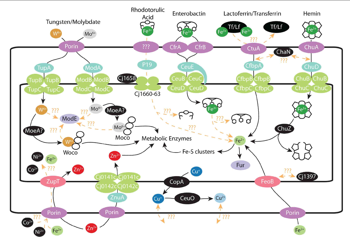 FIGURE 2 | Metal transport in C. jejuni : schematic of various metal transport systems present in C. jejuni. Where possible, proteins are colored by their function. Outer membrane proteins are denoted by dark purple, periplasmic proteins by turquoise, ABC transporters by green, periplasmic transporters by pink, and transcriptional regulators by light purple. Iron: ferric–rhodotorulic acid is imported into the periplasm though an unidentified outer membrane transporter and subsequent interactions with various proteins result in iron release and import into the cytosol. Ferric–enterobactin is imported through either CfrA/CfrB and enters the cytosol via the CeuBCDE system. The ferric–enterobactin is subsequently hydrolyzed by an unidentified protein. Lactoferrin/Transferrin iron uptake is accomplished though CtuA and released iron is then transported thought the CfbpABC system into the cytosol. Heme is imported through the outer membrane by ChuA and transported into the cytosol via the ChuBCD system. Iron release is accomplished by ChuZ hydrolyzing the porphyrin ring. Iron imported as ferrous ions are transported by the high affinity FeoB