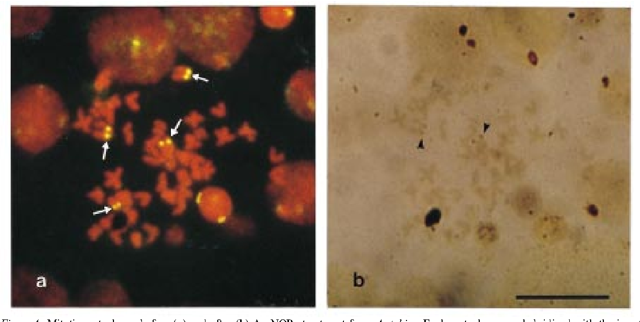 Figure 4. Mitotic metaphases before (a) and after (b) Ag-NORs treatment from A. tabira. Each metaphase was hybridized with the insert DNA from pUAT1H-389 (5S rDNA from A. tabira) as the probe. The arrows indicate ¯uorescent signals of 5S rDNA. The arrowhead indicates signals of Ag-NORs. A bar represents 10 ìm.