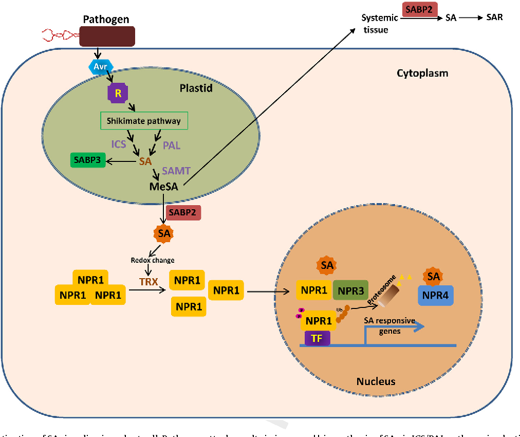 Fig. 1. A model showing activation of SA signaling in a plant cell. Pathogen attack results in increased biosynthesis of SA via ICS/PAL pathway in plastids. SA methyl transferase ( re it is c the nu N media