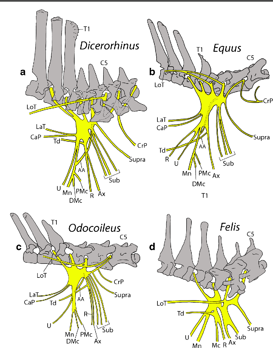 Figure 2 from The Brachial Plexus of the Sumatran Rhino ...