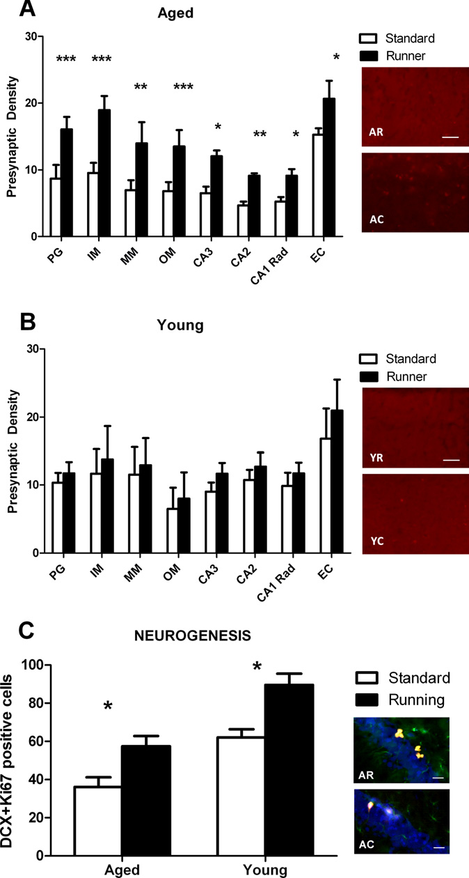Figure 3. Running increases presynaptic density to supranormal levels in older rats and neurogenesis in both younger and older rats. Under standard housing conditions, densities were lower in aged rats (A) than younger